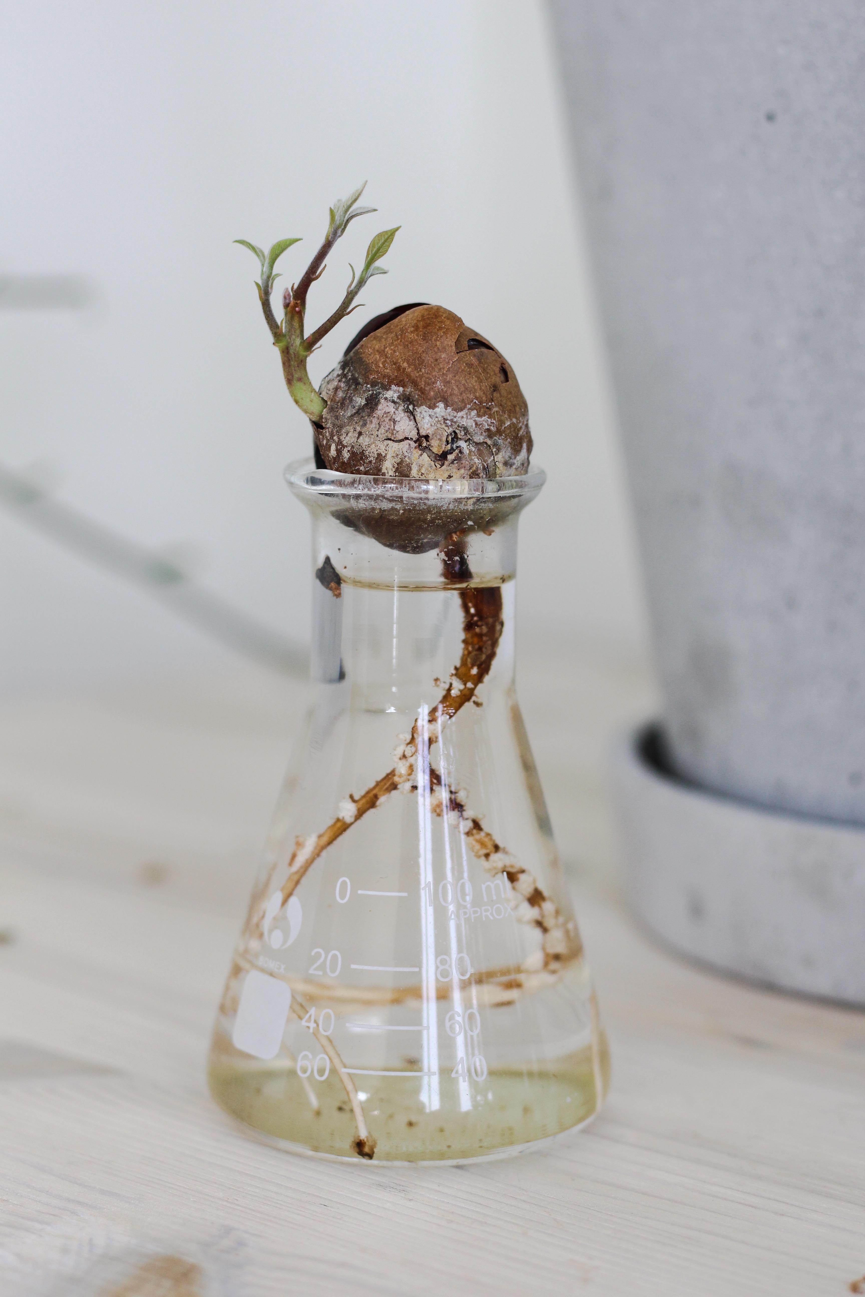 Avokadokärnans växtprocess